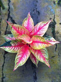 Tanaman Calathea White Fusion calathea dottie p p calathea roseo picta hybrid