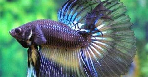 Makanan Ikan Cupang Dari Tumbuhan jenis ikan jenis jenis ikan hias air tawar