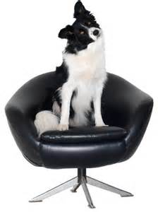 on chair size border collie sticker wall peel stick