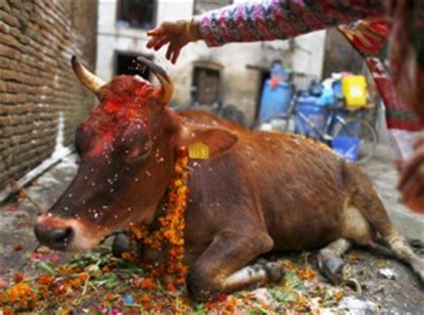 american wedding eating dog poop why do hindus not eat beef google questions answered