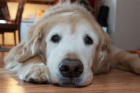 can a golden retriever live outside 25 reasons golden retrievers are actually the worst dogs to live with