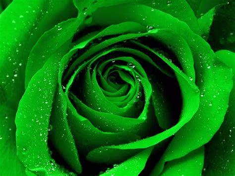 wallpaper of green rose rose wallpapers best wallpapers