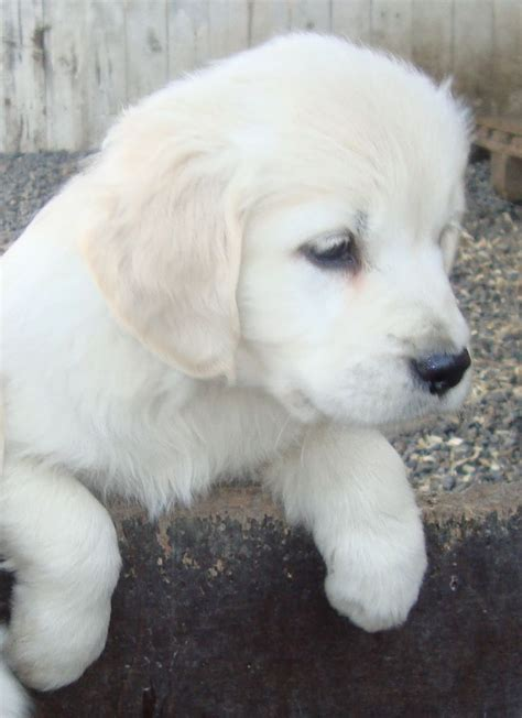 golden retriever till salu hedhems hundcenter