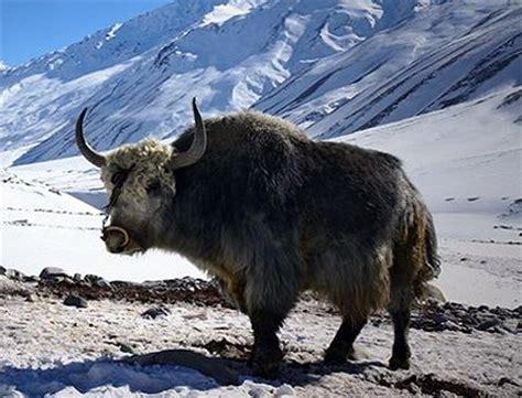 google images yak 40 best images about yakety yak on pinterest tibet