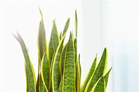 Zimmerpflanzen Feng Shui by Zimmerpflanzen Feng Shui Gartentechnik De