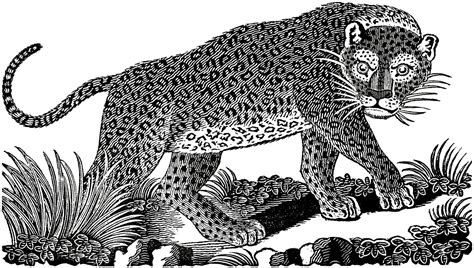 public domain leopard image  graphics fairy