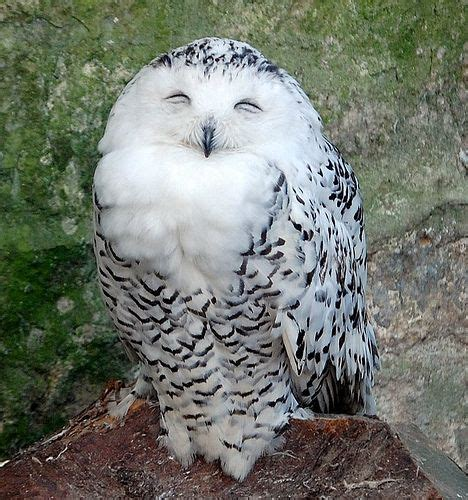 Happy Owl Top 17 best images about whoo are you whoo whoo on pictures of animals beautiful owl
