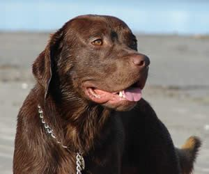 chocolate lab puppy names chocolate lab names yellow lab names and black lab names