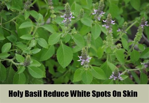 Tulsi Basil To Cure Skin Problems by 5 Herbal Remedies For White Spots On Skin