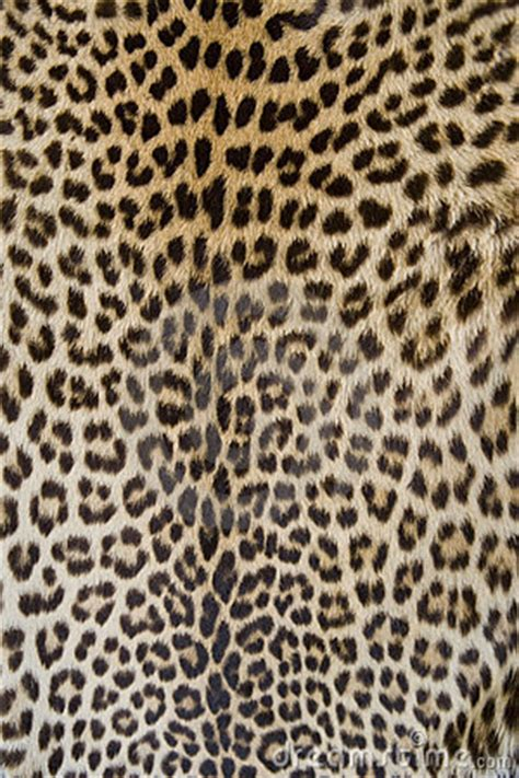 leopard skin stock photography image