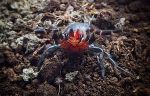 what color is spider blood mysterious spider with blood fangs found in australia