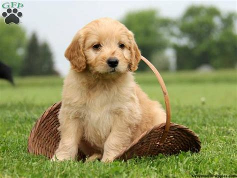 goldendoodle puppy for sale in pa mini goldendoodles for sale mini goldendoodle