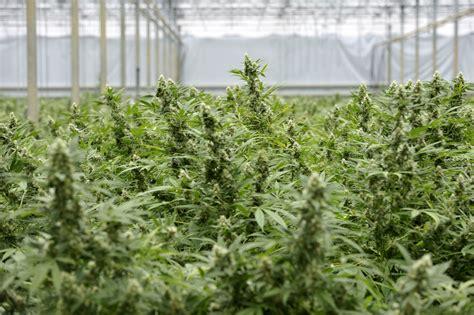 come coltivare cannabis in casa coltivare cannabis per uso personale 232 un reato la