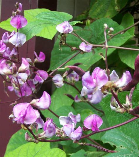wedding flowers hyacinth bean