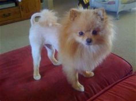 how to shave pomeranian 1000 ideas about pomeranian haircut on pomeranians pomeranian puppy and