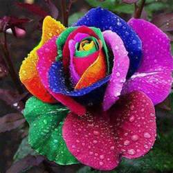 colorful roshes colorful roses flowers photo 34753354 fanpop