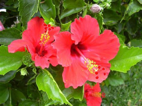 fiori hibiscus ibiscus ibisco hibiscus