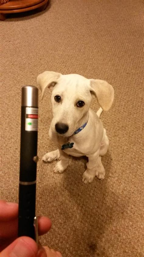 laser puppy puppy brings laser pointer to owner and waits for playtime to begin blogs