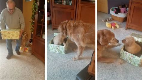 golden retriever died suddenly an excited eagerly opens his present to find a brand new puppy inside