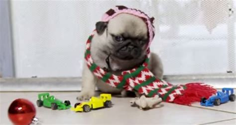 pug home alone pup puppies reenact quot home alone quot and it s