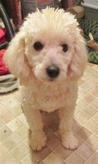 poodle haircuts 25 best ideas about poodle haircut on pinterest dogs