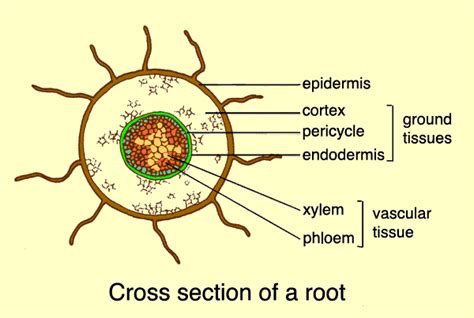 root structure diagram world carrot museum description of carrot root