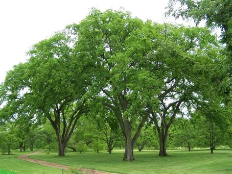 elm tree symbolism elm trees dreams meaning interpretation and meaning
