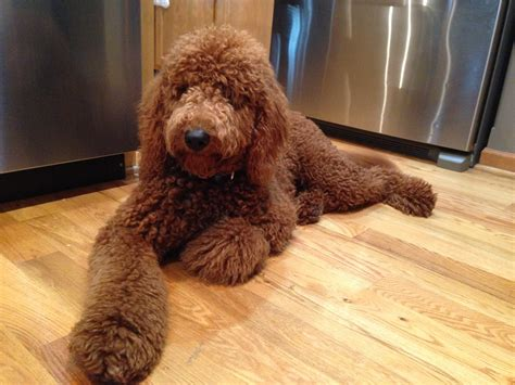 goldendoodle puppy nipping introducing and structure to help a golden doodle