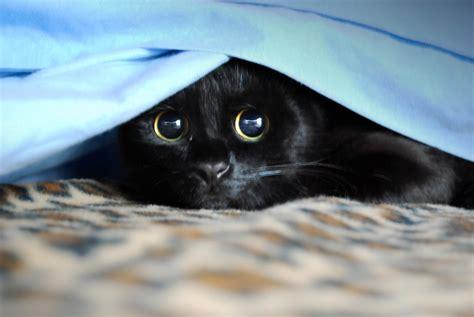 secondo i giapponesi i gatti neri portano fortuna