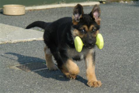 pictures of german shepherd puppies at 8 weeks 8 week german shepherd care dogs our friends photo