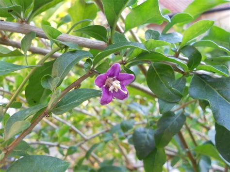 Goji Beeren Pflanzen Kaufen 25 by Lycium Barbarum Gojibeere Turgidus Im Lubera Shop