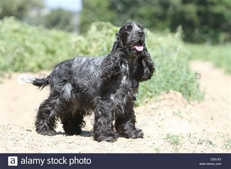 Dog English Cocker Spaniel adult (blue roan) standing in a ...