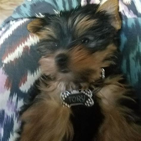 tiny yorkie kisses reviews i purchased now named my vet said she s perfectly healthy thank you kari