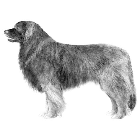 breed leonberger leonberger breed information american kennel club