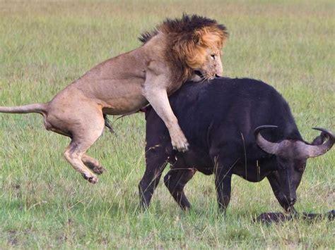 imagenes de leones cazando im 225 genes asombrosas de leones y leonas cazando animales hoy