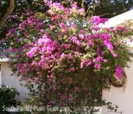 Large Flowering Bushes - similiar large flowering bushes keywords