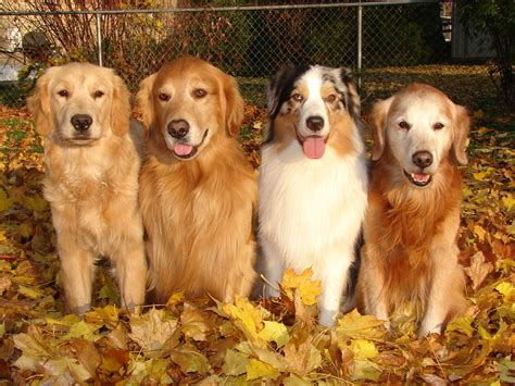 golden retriever island ny golden retriever breeders ny photo