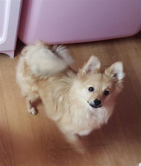 6 month pomeranian puppy pomeranian puppy 6 months so tiny wadebridge cornwall pets4homes