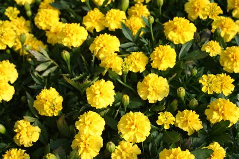 Yellow Marigold springbedding