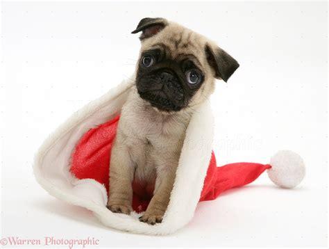 pug in santa hat pug pup in santa hat photo wp11654