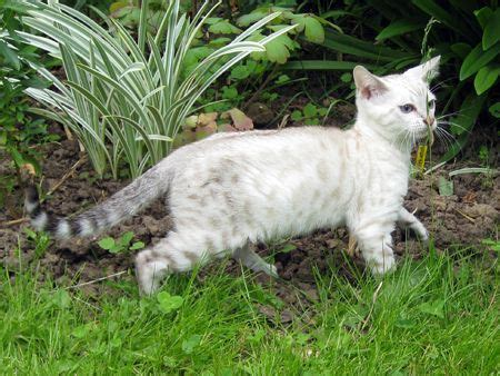 blue eyed snow bengal kitten 3 months old youtube silver snow female bengal kitten for sale spalding