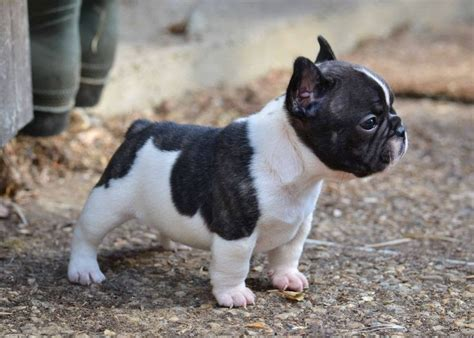 bulldog puppies price bulldog puppies price range how much do bulldogs cost