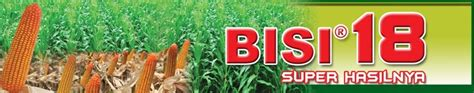 Benih Jagung Bisi 816 presentation budidaya jagung hibrida budidaya jagung hibrida