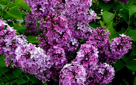 purple lilac with light fragrance of lilacs hd photography wallpaper 13