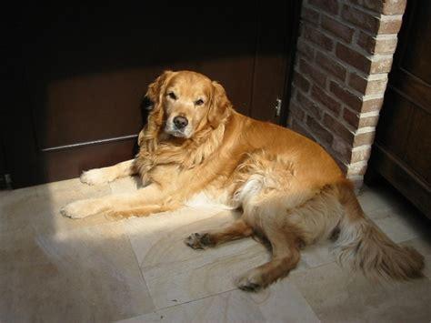 sunbeam golden retrievers 17 best images about golden retrievers on puppy the golden and
