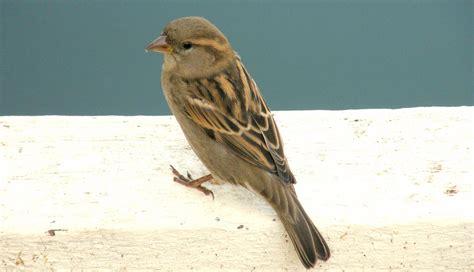 house sparrow house sparrow fact sheet