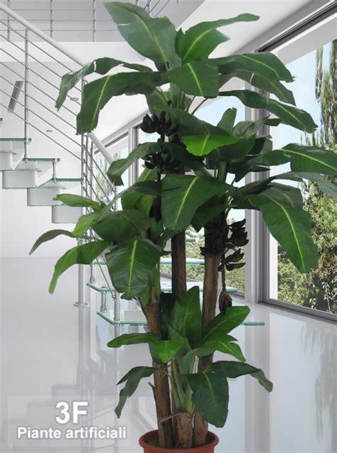 pianta di banano in vaso banano large x 4 altezza cm 80 150 230 270 216
