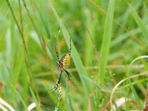 Garden Spider New York Banded Garden Spider Animals Of Northern New York