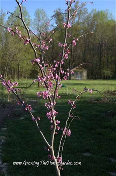 how to save seeds from redbud trees growing the home garden