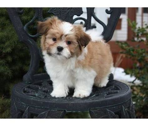havashu puppies shih tzu with bite breeds picture